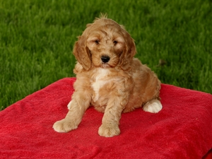 Clover - F1B Mini Goldendoodle Puppy For Sale