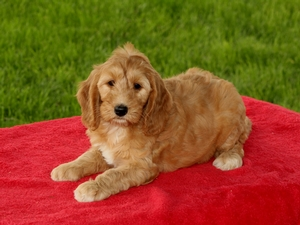 Becky - F1B Mini Goldendoodle Puppy For Sale