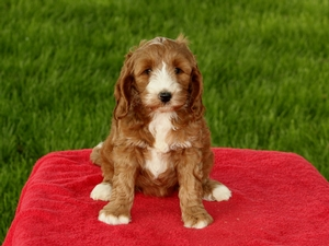 Rainbow - F1B Mini Goldendoodle Puppy For Sale