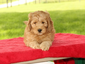 Freddie - F1B Mini Goldendoodle Puppy For Sale