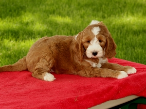 Rambow - F1B Mini Goldendoodle Puppy For Sale