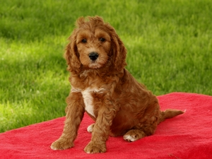 Jase - F1B Mini Goldendoodle Puppy For Sale
