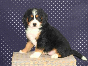 Zac - F1 Mini Bernedoodle Puppy For Sale