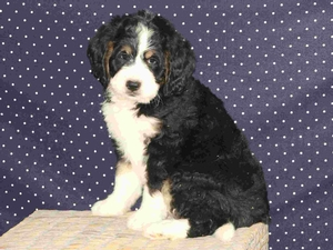 Ben - F1 Mini Bernedoodle Puppy For Sale