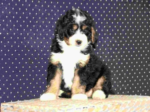 Sasha - F1 Mini Bernedoodle Puppy For Sale