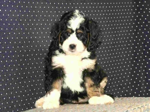 Alex - F1 Mini Bernedoodle Puppy For Sale