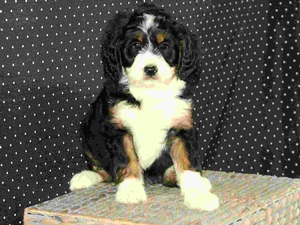 Katie - F1 Mini Bernedoodle Puppy For Sale