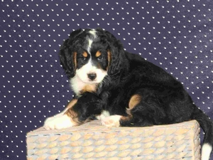 Sheba - F1 Mini Bernedoodle Puppy For Sale