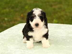 Tete - Tiny Bernedoodle Puppy