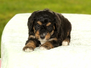 Griffey - Tiny Bernedoodle Puppy