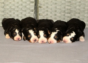 Princess & Bo's - Litter of Mini F1 Bernedoodle Puppies