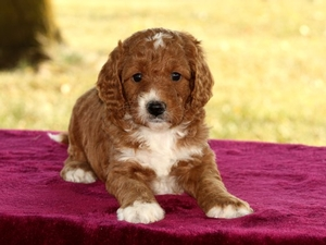 Josie - F1B Mini Goldendoodle Puppy