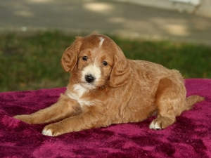 Heidi - F1B Mini Goldendoodle Puppy