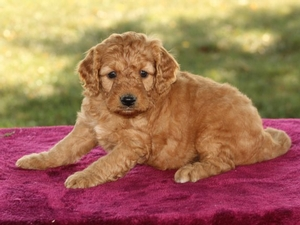 Holly - F1B Mini Goldendoodle Puppy