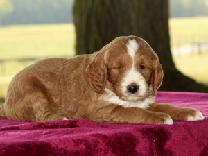 Macy - F1B Mini Goldendoodle Puppy