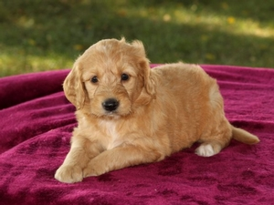 Lacey - F1B Mini Goldendoodle Puppy