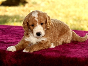 Blue - F1B Mini Goldendoodle Puppy