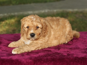 Cash - F1B Mini Goldendoodle Puppy