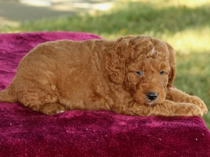 Baxter - F1B Mini Goldendoodle Puppy