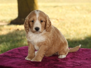 Cody - F1B Mini Goldendoodle Puppy