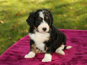 Aaliyah - F1 Mini Bernedoodle Puppy