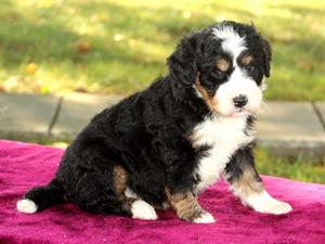 Boomer - F1 Mini Bernedoodle Puppy