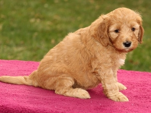 Brooklyn - Mini Goldendoodle Puppy