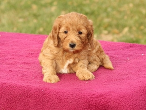 Casey - Mini Goldendoodle Puppy
