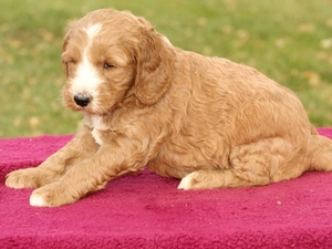 Samson - Mini Goldendoodle Puppy