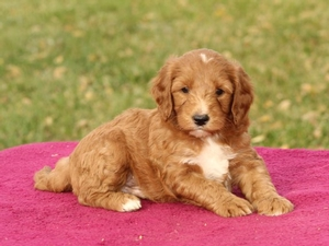 Jeter - Mini Goldendoodle Puppy