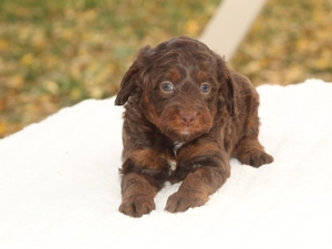 Crystal - F1B Tiny Bernedoodle Puppy For Sale