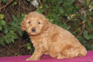 Emma - F1 Mini Goldendoodle Puppy for Sale in Illinois