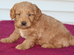 Zeus - F1 Mini Goldendoodle Puppy for Sale in Illinois