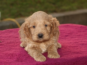 Winston - F1 Mini Goldendoodle Puppy for Sale in Illinois