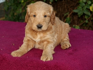 Louie - F1 Mini Goldendoodle Puppy for Sale in Illinois