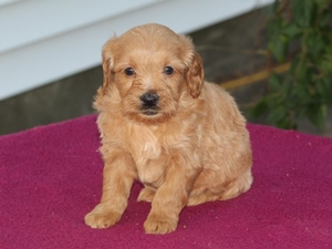 Penny - F1 Tiny Goldendoodle Puppy for Sale in Illinois
