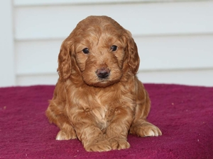 Misty - F1 Mini Goldendoodle Puppy for Sale in Illinois