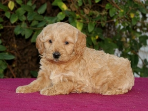 Stella - F1 Mini Goldendoodle Puppy for Sale in Illinois