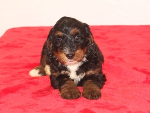 Sparkie - F1B Tiny Bernedoodle Puppy For Sale