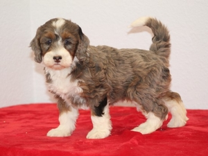 Lori - F1B Tiny Bernedoodle Puppy For Sale