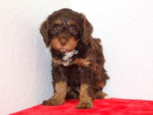 Loraine - F1B Tiny Bernedoodle Puppy For Sale