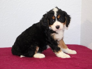 Cookie - Mini Bernedoodle Puppy