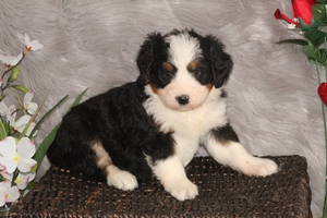 Jacks - F1 Miniature Bernedoodle Puppy For Sale