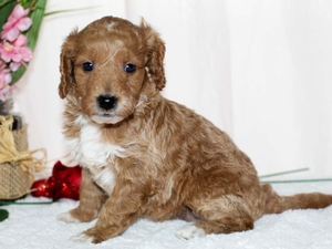 Carnation - Tiny Goldendoodle in Illinois
