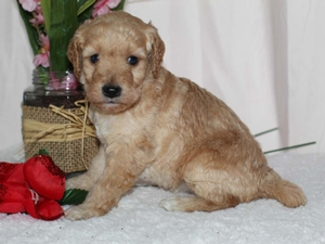 Lavender - Tiny Goldendoodle in Illinois