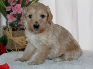 Bellflower - Tiny Goldendoodle in Illinois