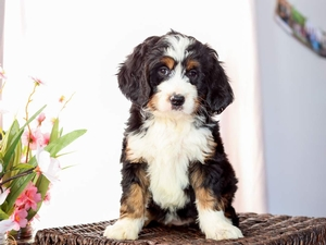 Ellie - Mini Bernedoodle Puppy For Sale in Illinois