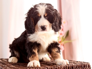 Alexa - Mini Bernedoodle Puppy For Sale in Illinois