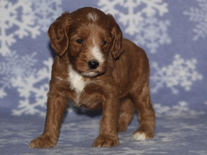 Bo - Goldendoodle Puppy For Sale