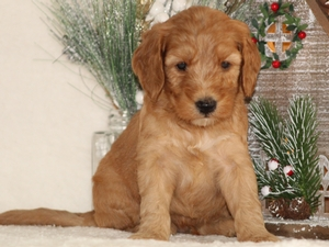 Cooper - Goldendoodle Puppy For Sale